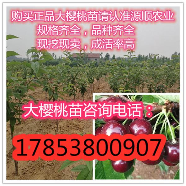新品种美早大樱桃苗价格、美早大樱桃苗价格