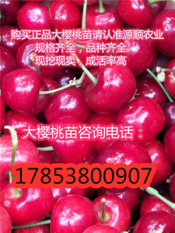 矮化大樱桃树苗价格矮化矮化大樱桃树苗价格