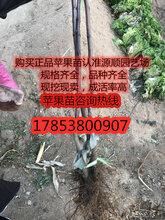 华硕苹果苗价格及基地图片