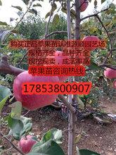 响富苹果苗价格图片