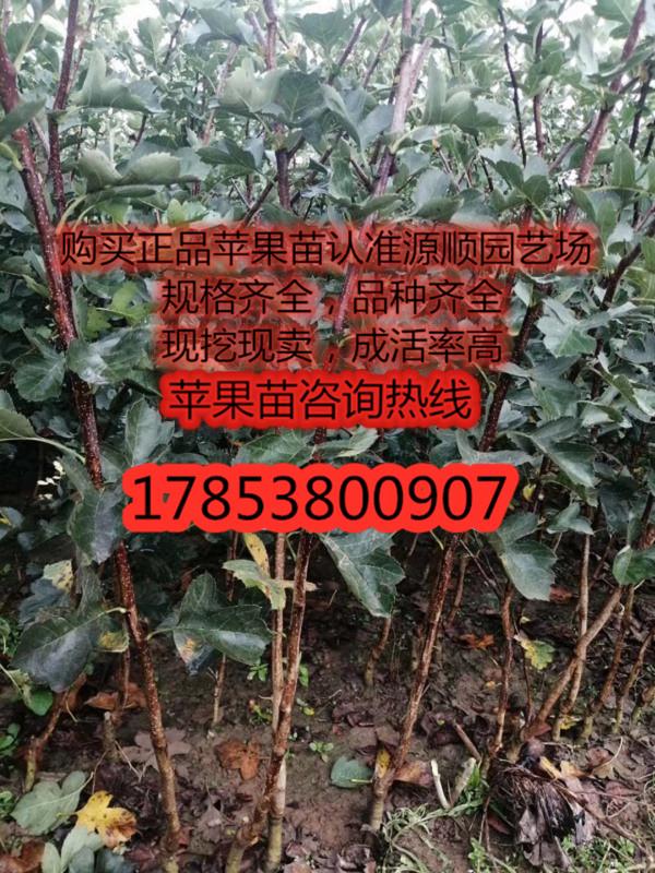今年黑钻苹果苗新品种价格
