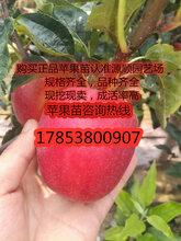 新品种矮化苹果苗新品种价格图片