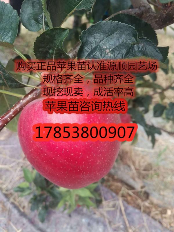 水蜜桃苹果苗价格及基地