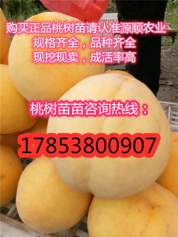 新品种紫叶冬桃桃树苗批发价格