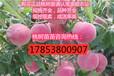 今年金秋红蜜桃苗价格