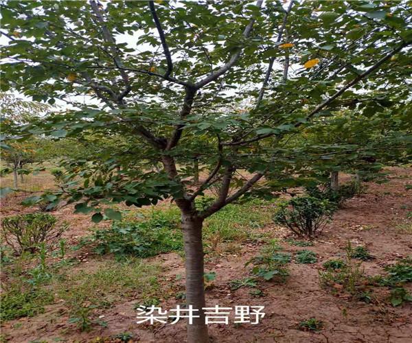 高杆郁金樱花图文并茂
