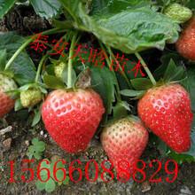 如何选择红颜草莓苗 基地电话图片