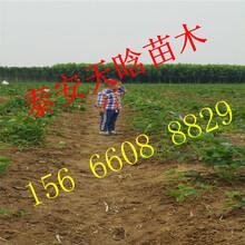 如何选择随珠草莓苗 培育基地 品种图片