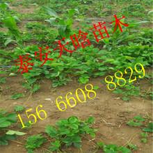 如何选择妙香3号草莓苗销售信息图片