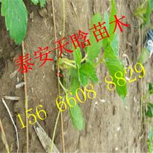 如何选择京郊小白草莓苗 供货商图片