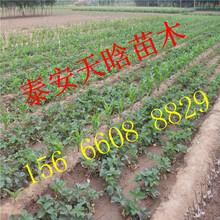 如何选择随珠草莓苗 苗木基地 供应图片