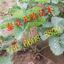 哪里有白草莓苗种植技术图片