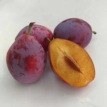 高纯的味馨杏李苗 出售 种植基地图片