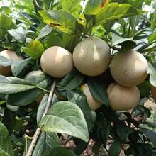 科迪亚樱桃苗5公分价格图片