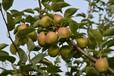 簡單介紹柱狀梨苗優缺點,梨樹苗基地