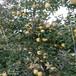 映雪紅玲蘋果苗前景映雪紅玲蘋果苗