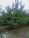 黃蜜櫻桃苗品種簡介黃蜜櫻桃苗種植基地