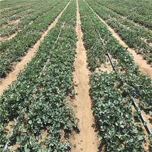 发展种植红颜草莓苗信息面向地区:辽宁图片