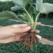 大棚种植章姬草莓苗信息面向地区:河南图片