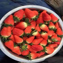 能保证品种的红颜草莓苗繁育基地信息面向地区:新疆图片
