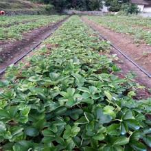 每年大量繁育培育章姬草莓苗信息面向地区:云南图片