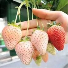 章姬草莓苗怎样繁殖信息面向地区:上海图片