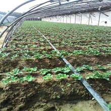 供应红颜草莓苗袋苗信息面向地区:河南图片