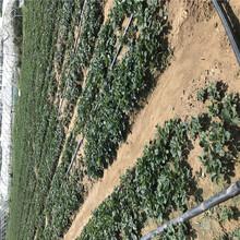 大棚种植章姬草莓苗信息面向地区:吉林图片