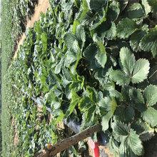 章姬草莓苗多少钱信息面向地区:云南图片