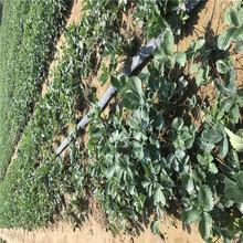 章姬草莓苗价格信息面向地区:安徽图片
