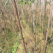 安徽粗度15厘米春露樱桃苗图片