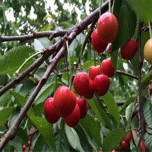 贵州今年13-33樱桃苗价格图片