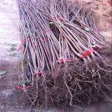 宁夏地径7厘米先锋樱桃苗图片