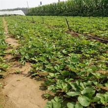 新疆美香沙草莓大棚亩种多少棵图片