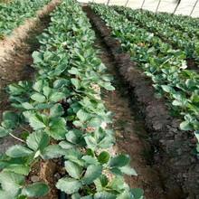浙江贵美人草莓苗管理方案图片