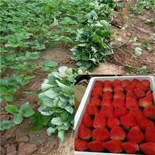 紅顏草莓苗圖片