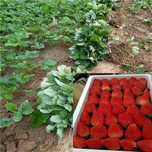 红颜草莓苗图片