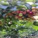 舟山櫻桃苗、櫻桃苗哪里有賣