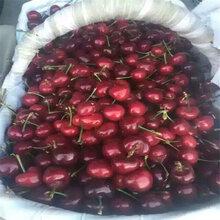 唐山拉宾斯樱桃苗、拉宾斯樱桃苗哪里有卖图片