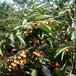 龙岩车厘子樱桃苗、车厘子樱桃苗多少钱一棵