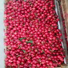 寧波岱紅櫻桃苗、岱紅櫻桃苗多少錢一棵圖片