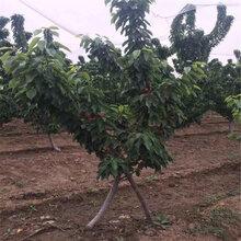 巴中黑珍珠樱桃苗、黑珍珠樱桃苗厂家图片