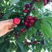 盐城岱红樱桃苗、岱红樱桃苗哪里有卖