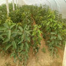 淮北拉宾斯樱桃苗、拉宾斯樱桃苗哪里有卖图片