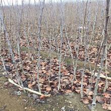 揚州黑珍珠櫻桃苗、黑珍珠櫻桃苗價格圖片
