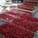 杭州薩米脫櫻桃苗、薩米脫櫻桃苗價格