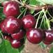 哈尔滨樱桃苗、樱桃苗多少钱一棵