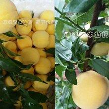 哪里有早熟油桃桃苗_楊凌瑞星苗木桃樹品種介紹及簡介