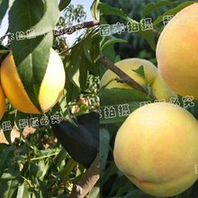 東營單果最大的桃樹品種_東營桃苗價格
