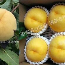 新品种晚熟桃_新品种晚熟桃哪里有出售图片